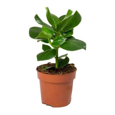 Klusija (lot. clusea rosea) vazone