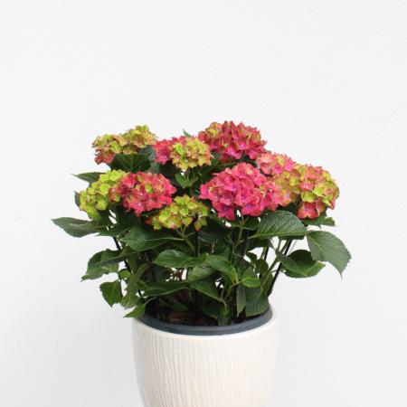 Hortenzija (lot. hydrangea)
