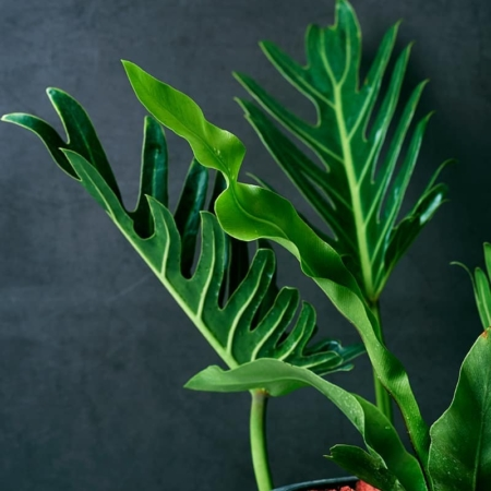 Filodendro lapai (Philodendron xanadu)
