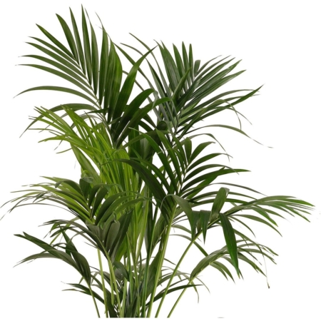 Palmės kentijos (lot. Howea forsteriana) lapija