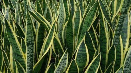 Trijuostės sansevjeros lapai (lot. Sansevieria trifasciata)