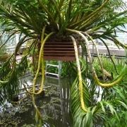 Didžiausia pasaulyje orchidėja