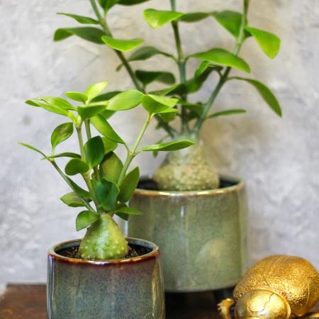 Skruzdėlių augalas (lot. Hydnophytum papuanum)