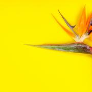 Puošnioji strelicija arba Rojaus paukštė