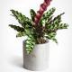 Kalatėja (lot. Calathea lancifolia)