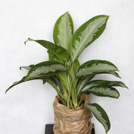 "Aglaonema ""Diamond Bay"""